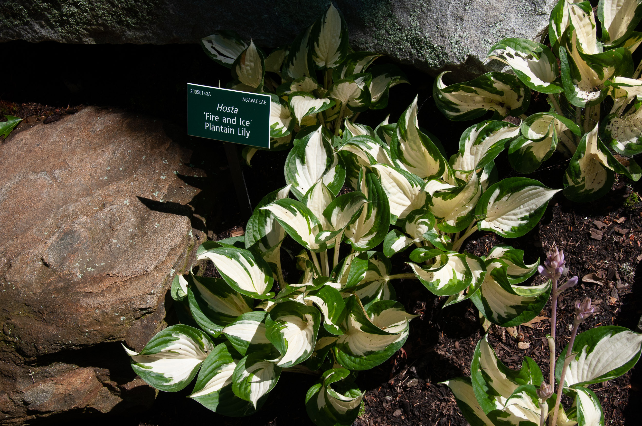 hosta fire and ice plantain lily. Black Bedroom Furniture Sets. Home Design Ideas
