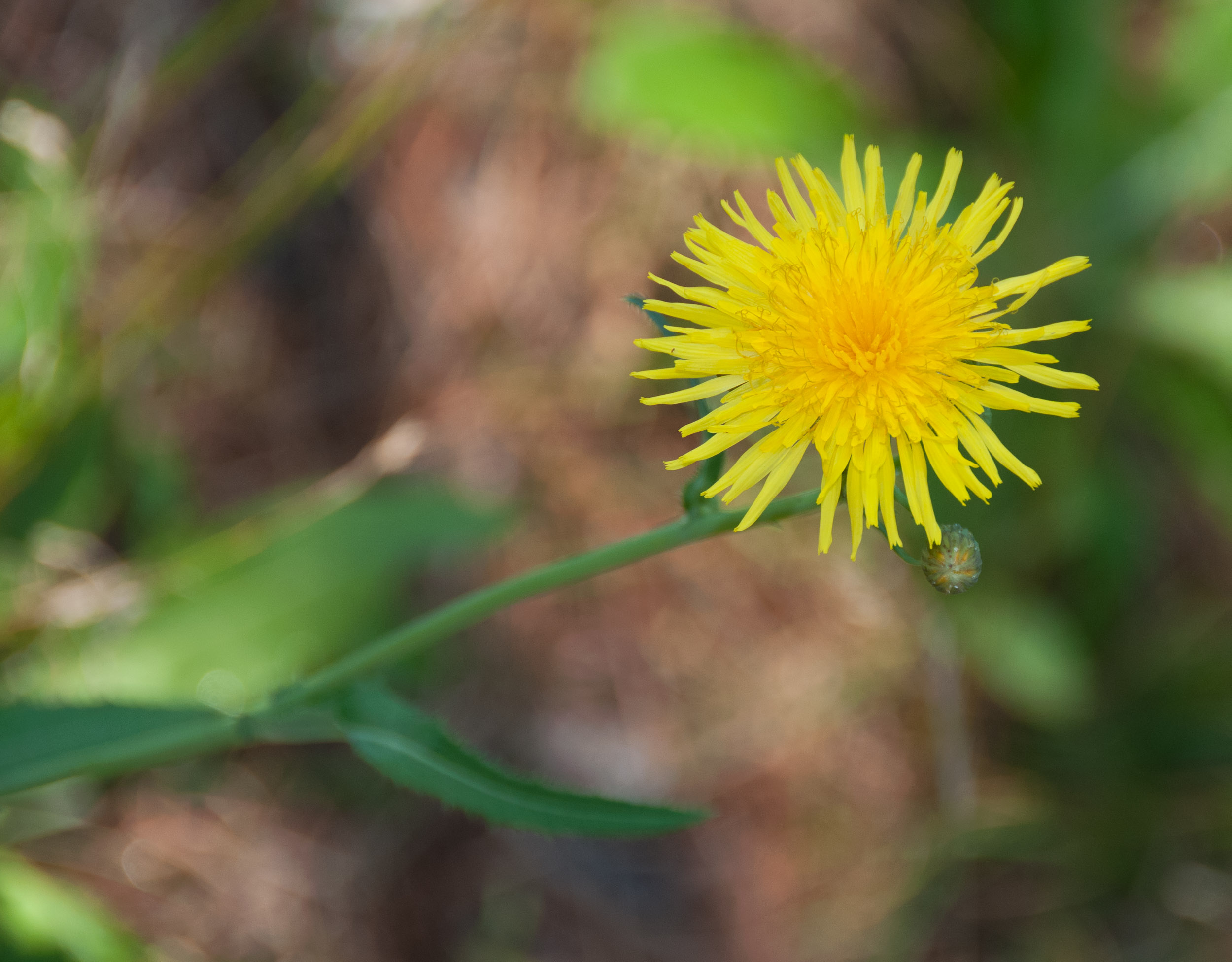 Sonchus asper spiny leaved sow thistle sonchus asper spiny leaved sow thistle spiny sowthistle prickly sowthistle mightylinksfo