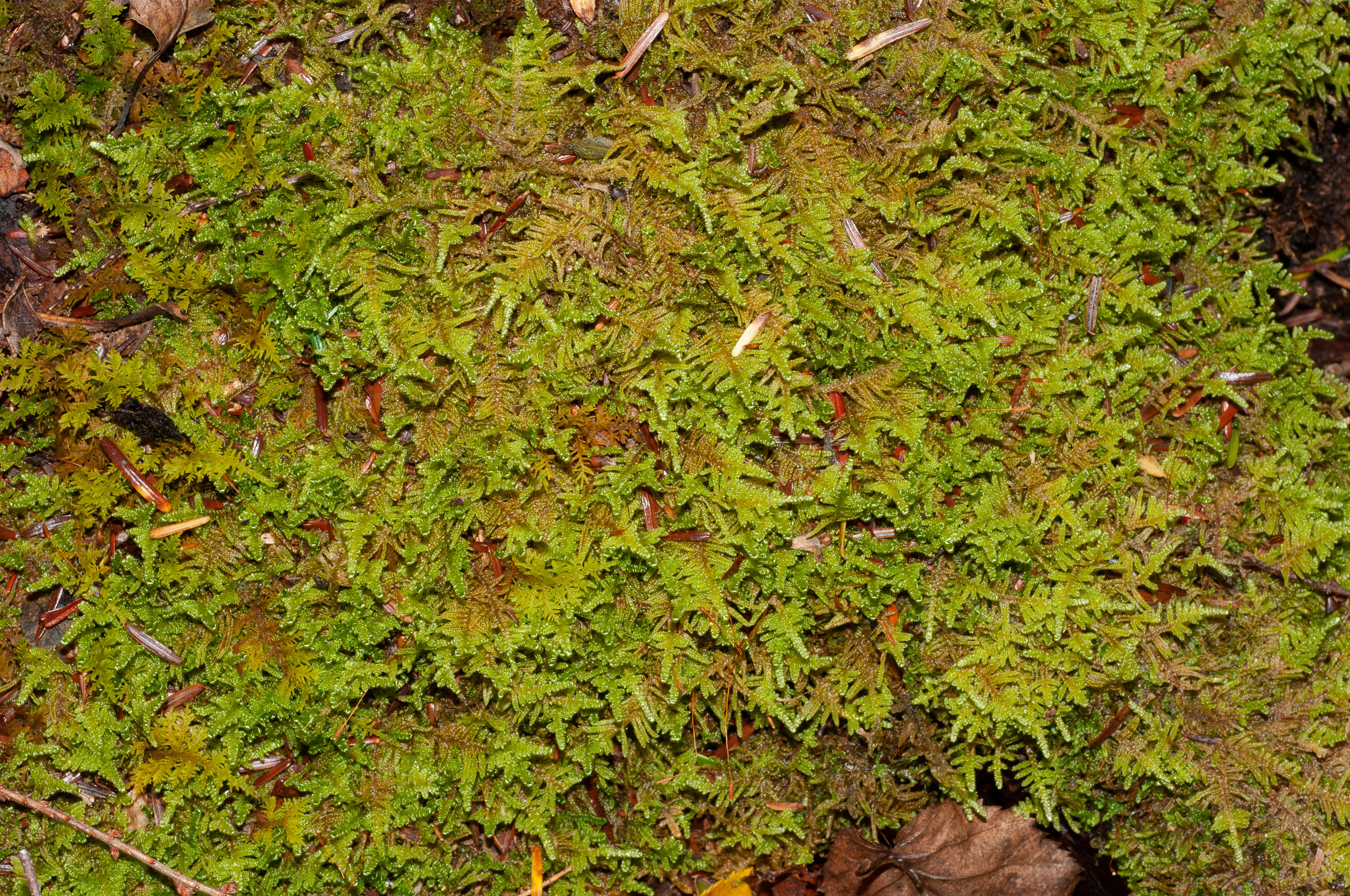 an introduction to the sphagnum peat moss The use of sphagnum peat moss as a component of horticultural growing media has been very important because of the unique properties of the sphagnum cells to hold and release water.