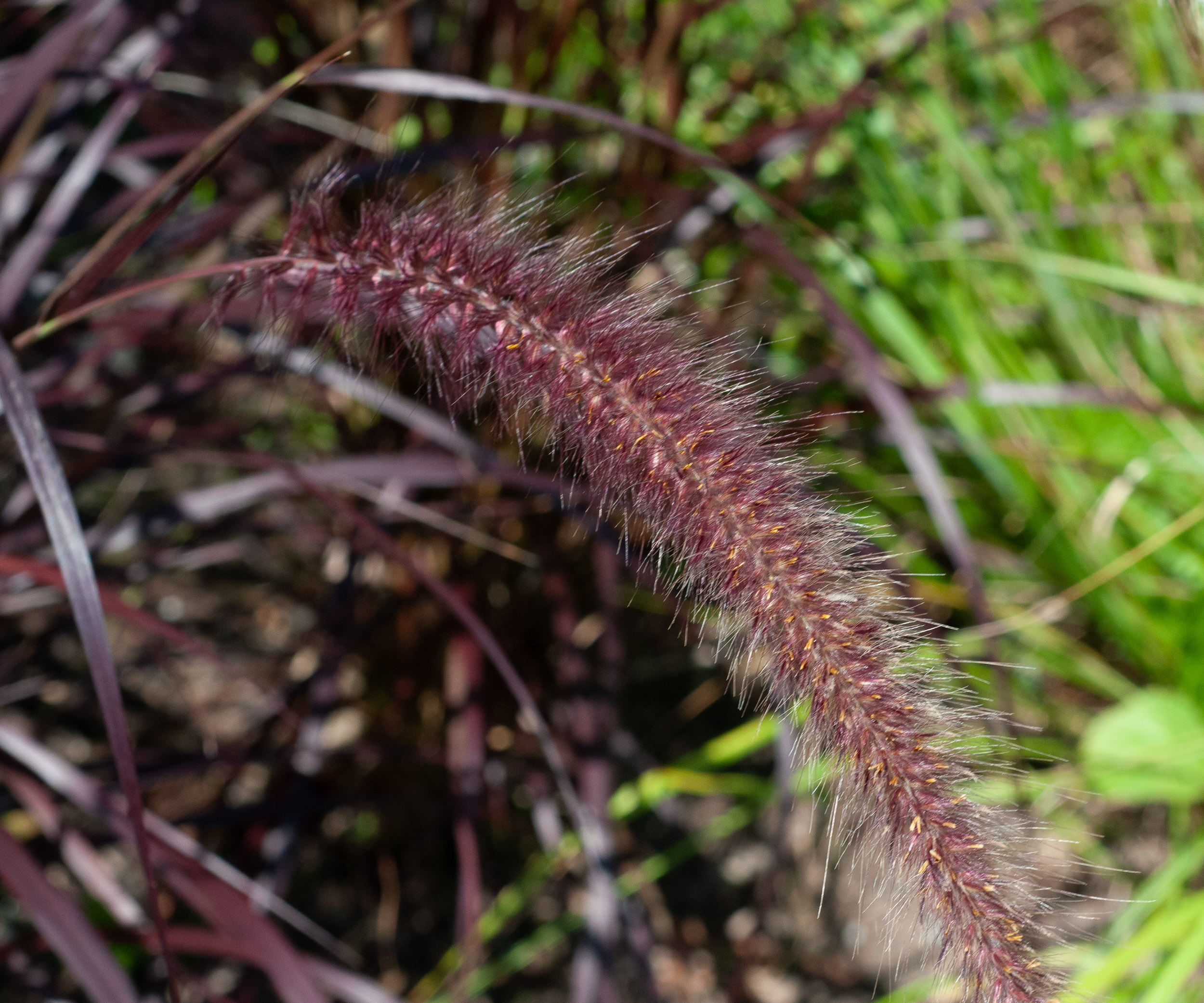 Pennisetum setaceum rubrum purple fountain grass for Fountain grass