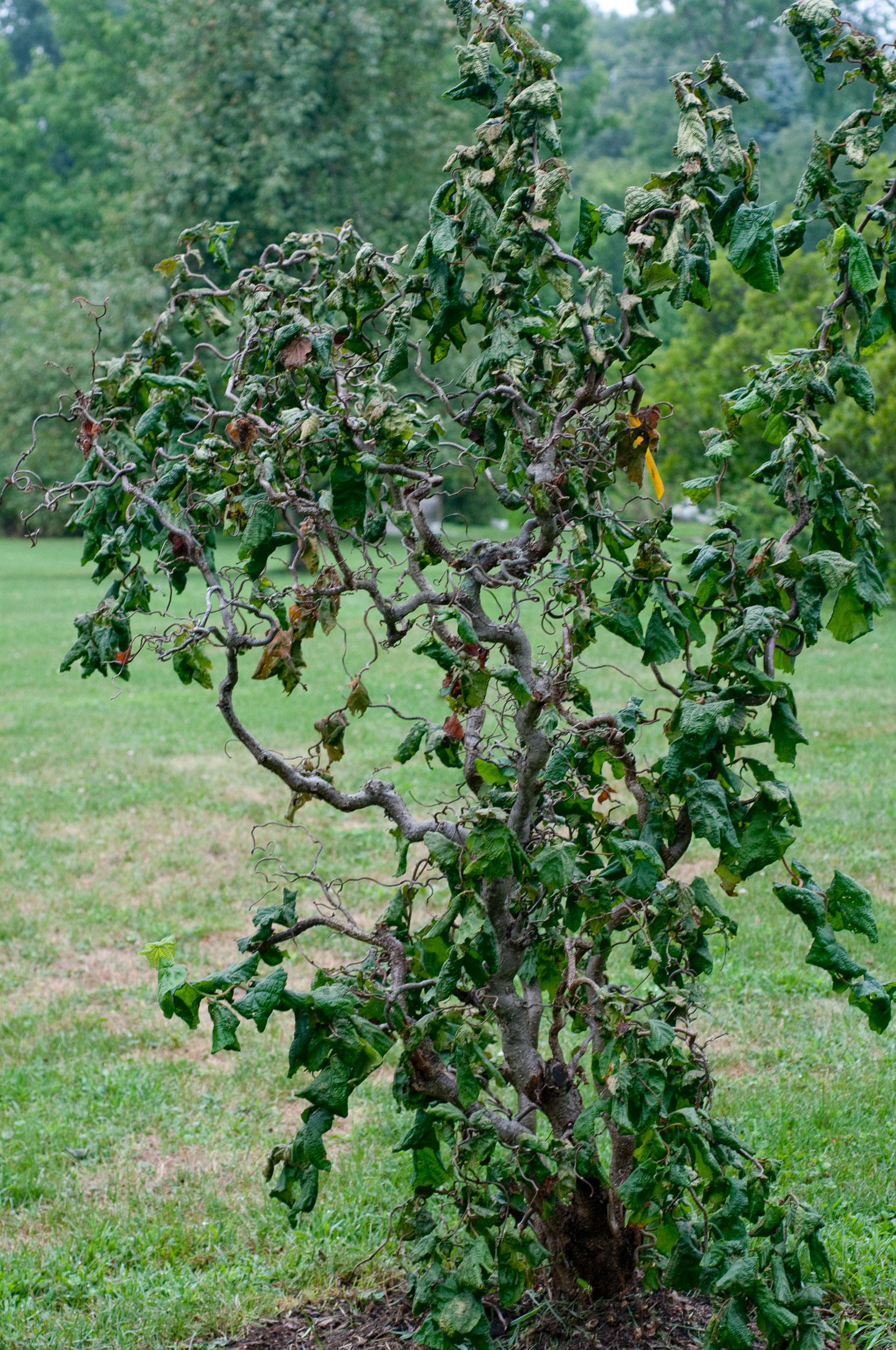 Corylus Avellana Harry Lauder S Walking Stick