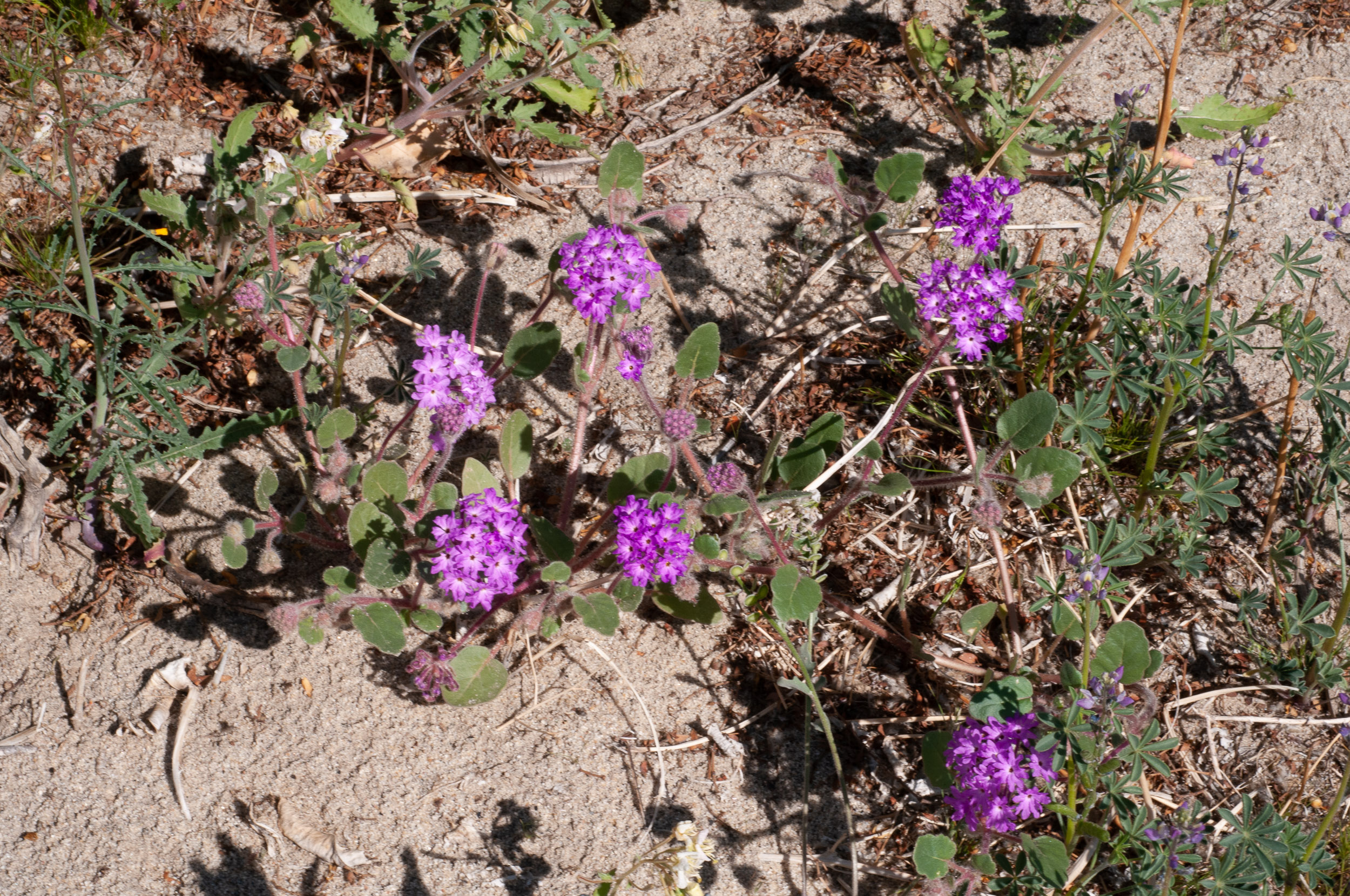 Abronia Villosa Desert Sand Verbena
