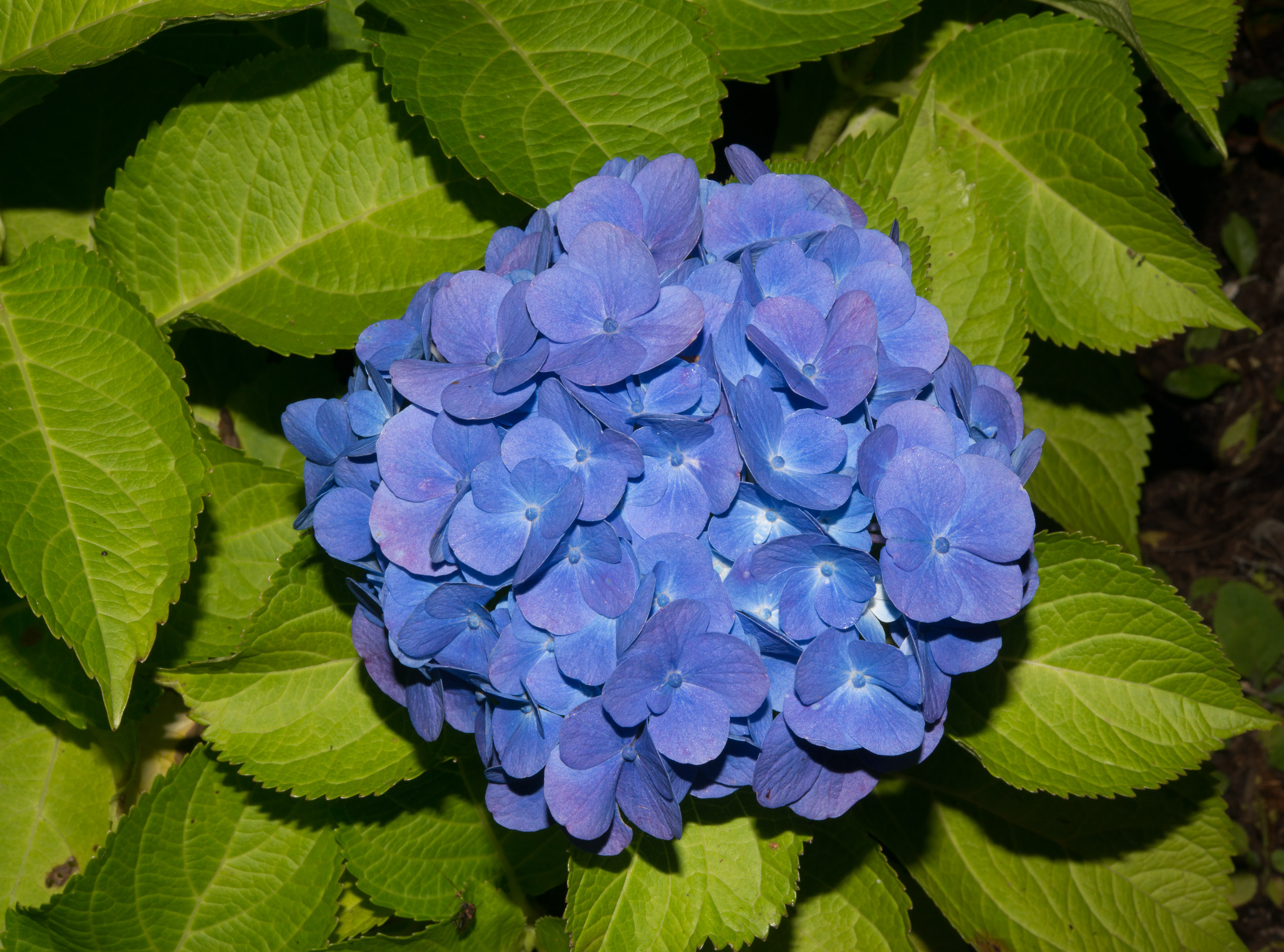 hydrangea macrophylla blue hydrangea. Black Bedroom Furniture Sets. Home Design Ideas