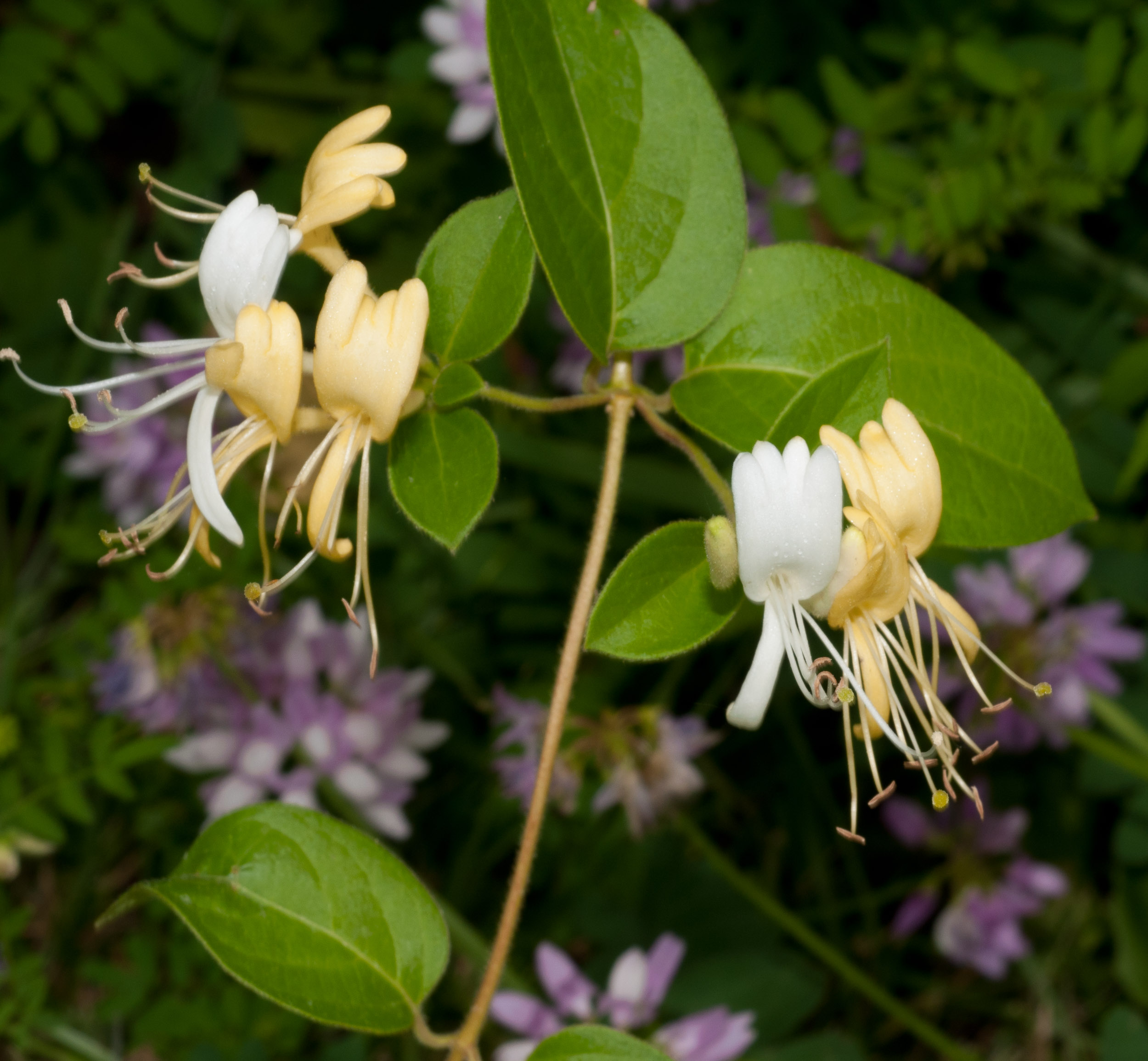 Lonicera japonica winter