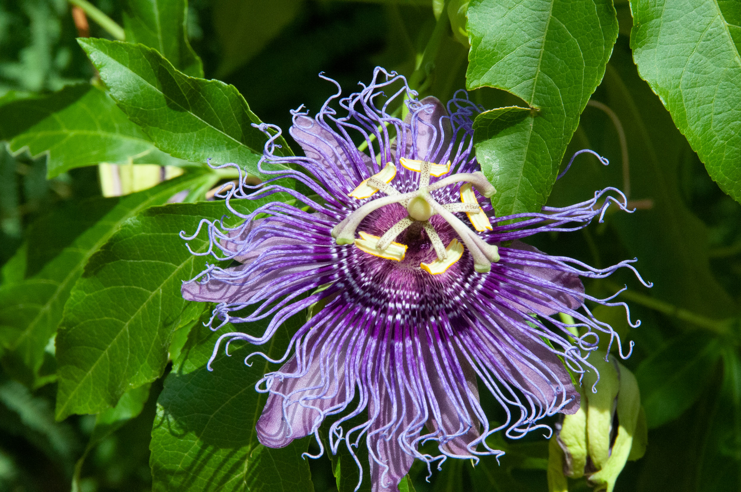 Image result for Maypop Passionflower (Passiflora incarnata)
