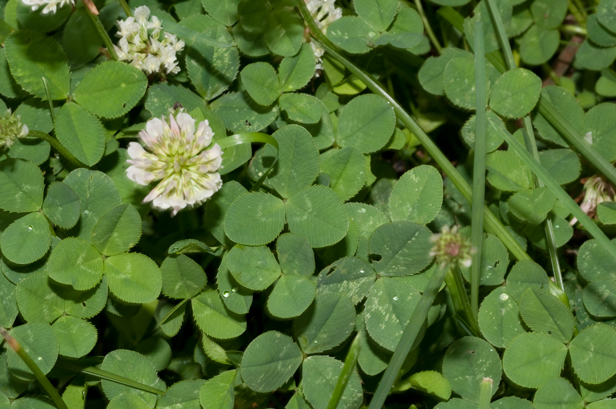 White Clover Facts and Health Benefits |White Clover Plant