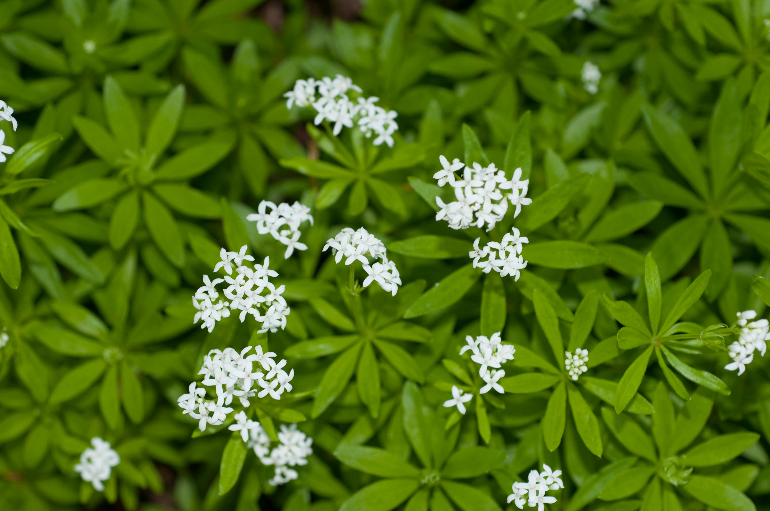 galium odoratum sweet woodruff. Black Bedroom Furniture Sets. Home Design Ideas