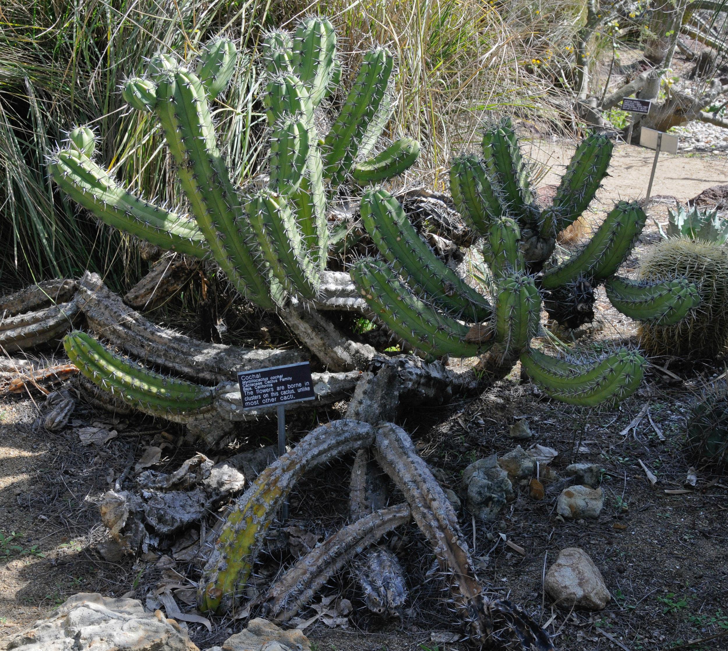 Myrtillocactus Cochal Cochal
