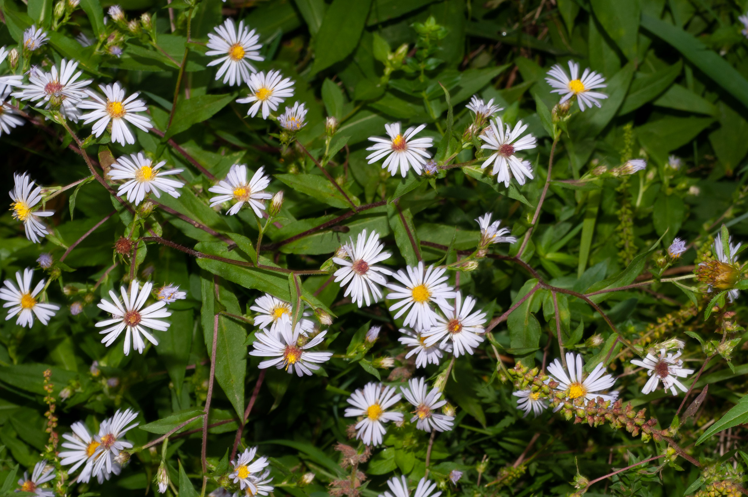 symphyotrichum lateriflorum calico aster