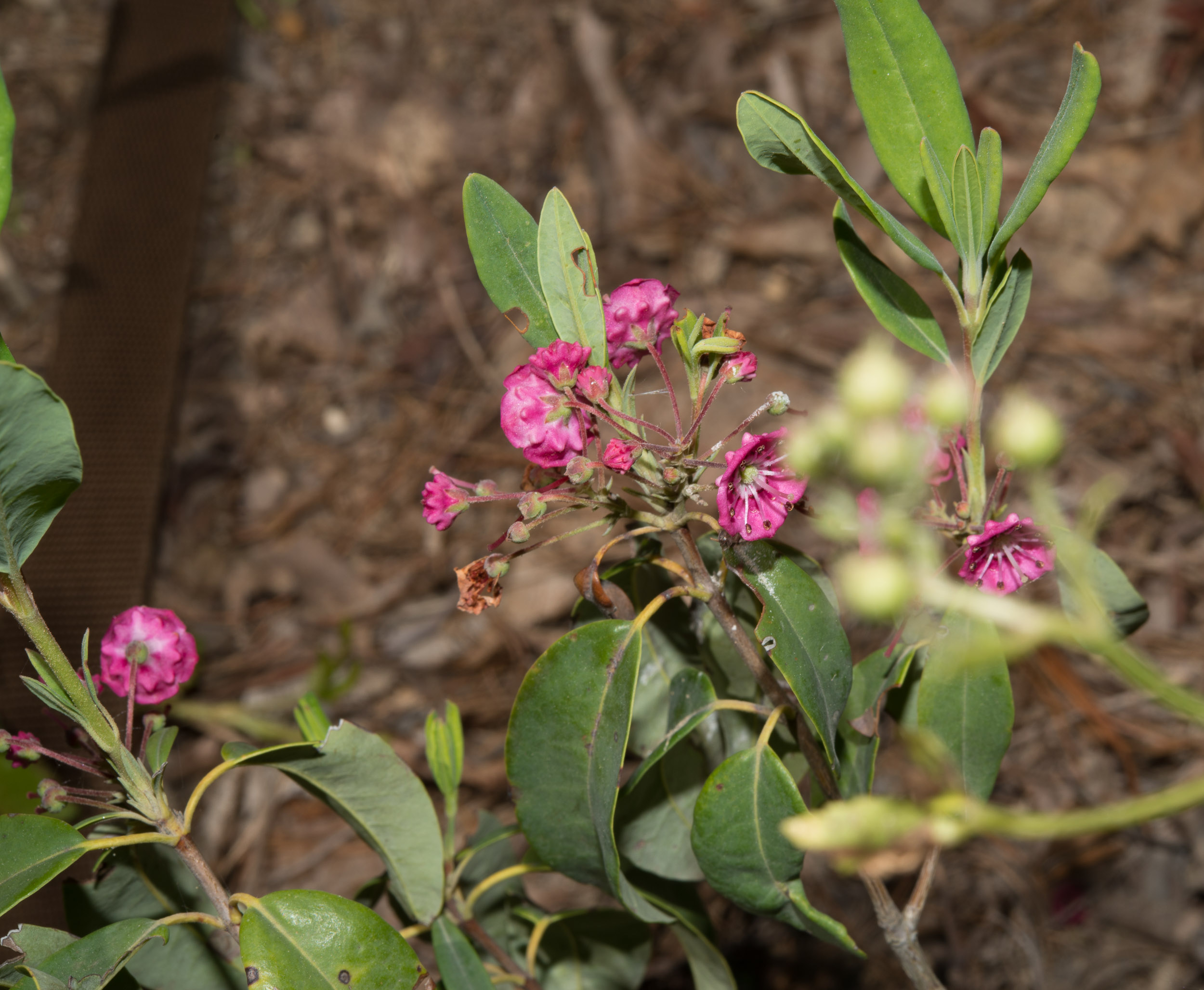 Kalmia angustifolia (Sheep Laurel)
