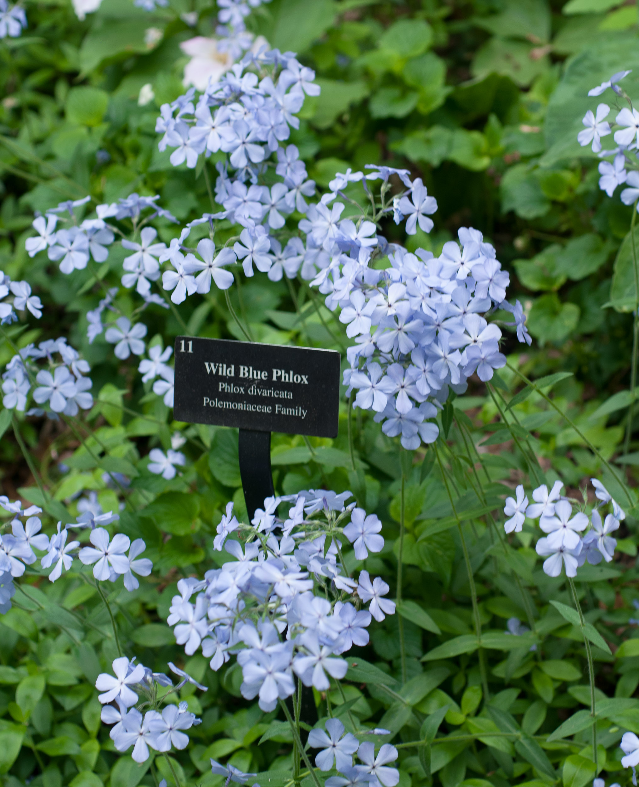 phlox divaricata wild blue phlox. Black Bedroom Furniture Sets. Home Design Ideas