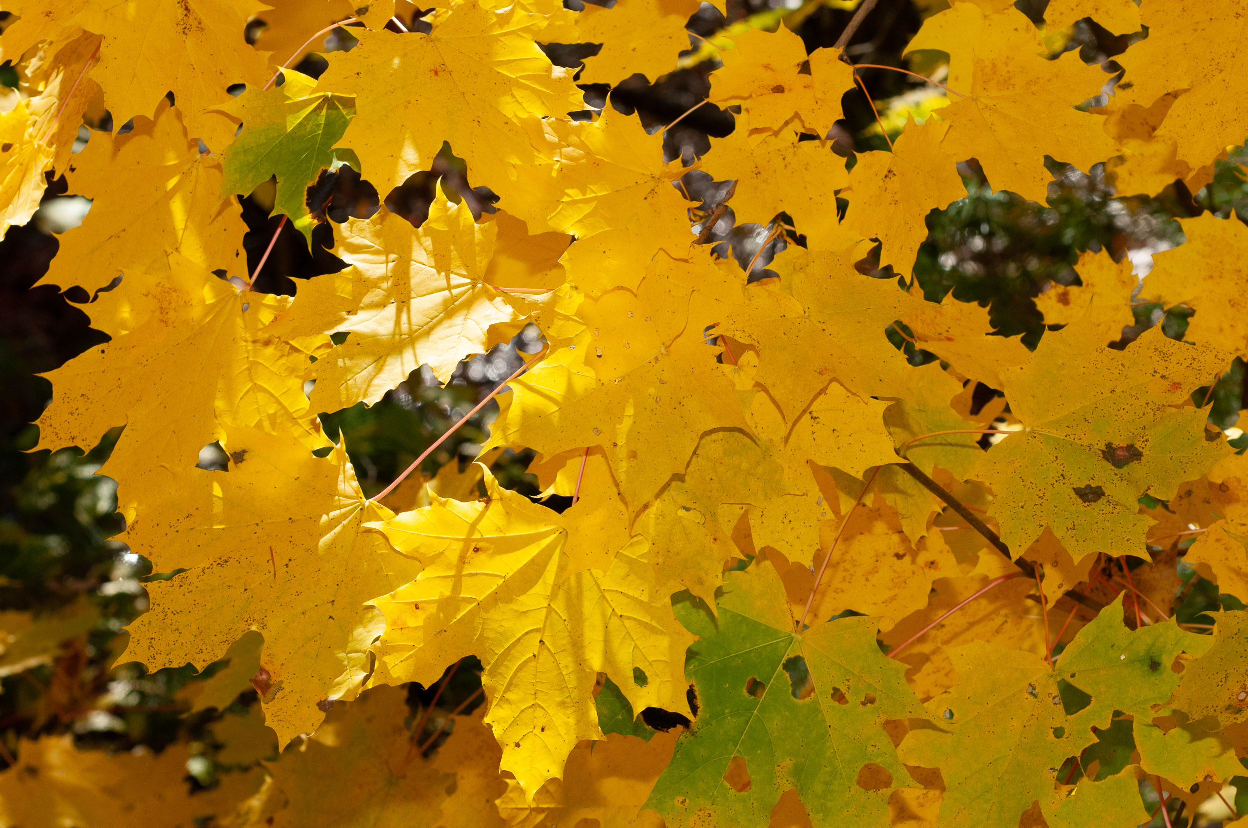 Acer platanoides norway maple - Arce platanoide ...