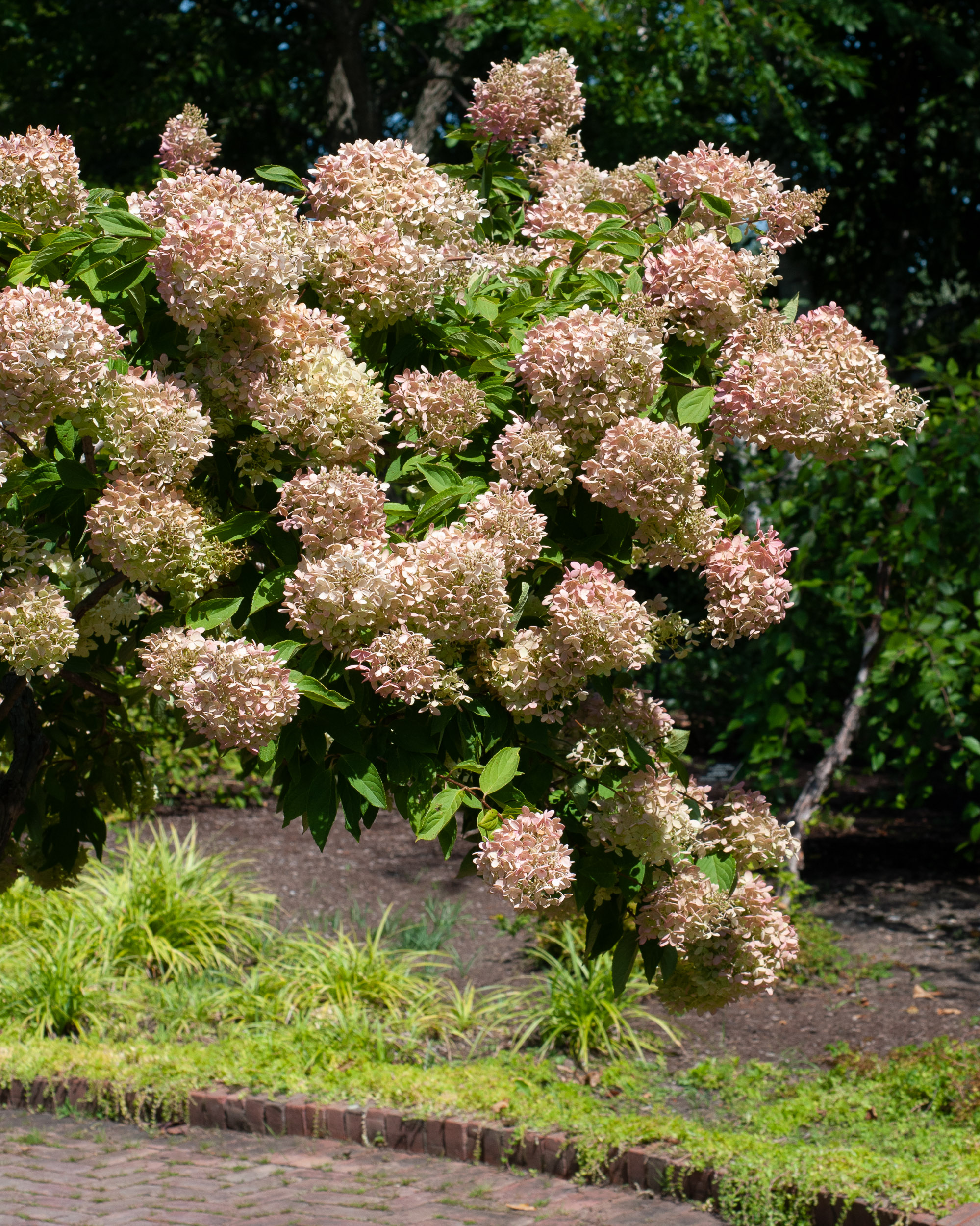 hydrangea paniculata grandiflora peegee hydrangea. Black Bedroom Furniture Sets. Home Design Ideas