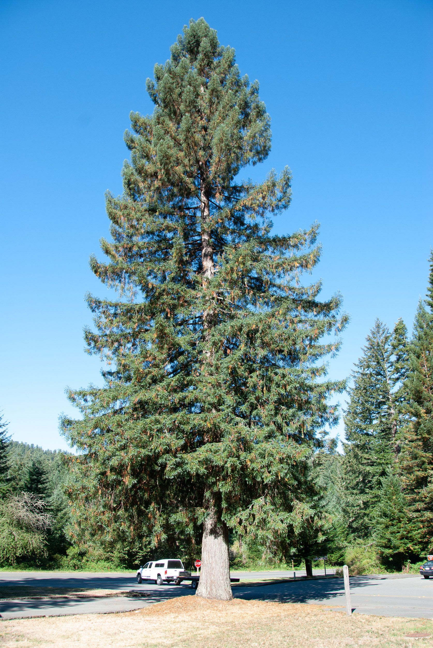 coastal sitka spruce - photo #34