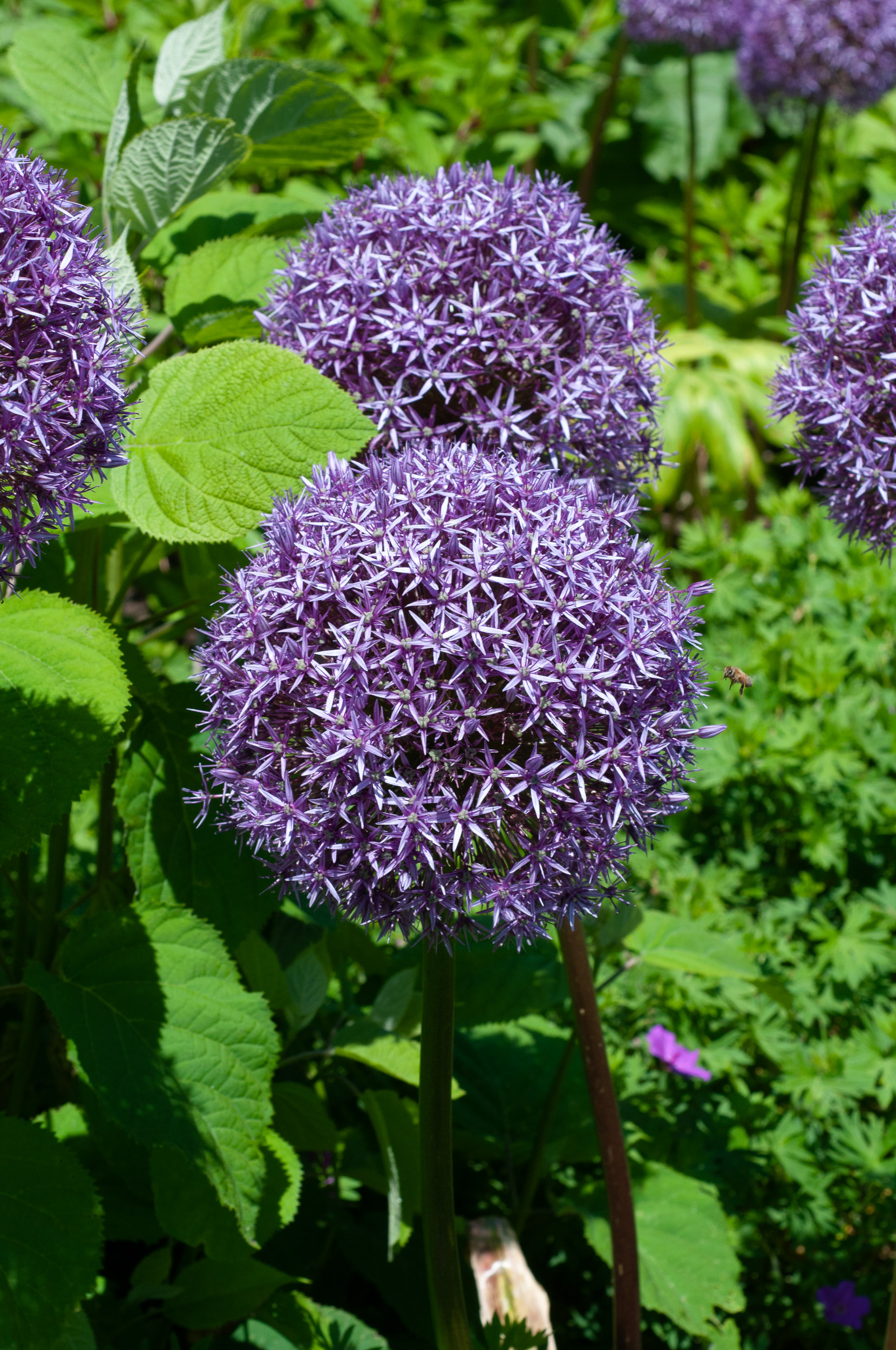 allium giganteum ornamental onion. Black Bedroom Furniture Sets. Home Design Ideas