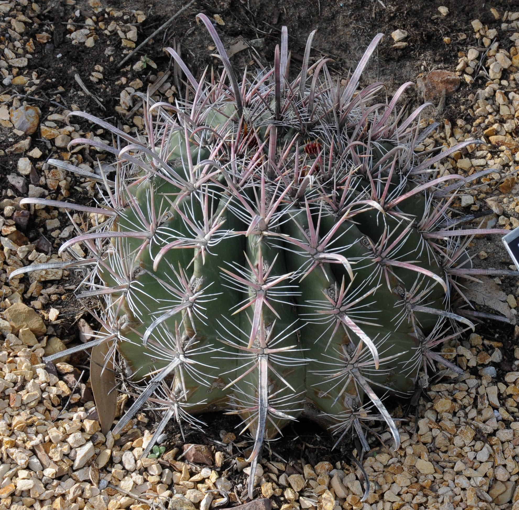 Ferocactus gracilis baja fire barrel for Fish hook cactus