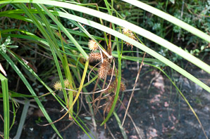 Carex lurida (Sallow Sedge, Shallow Sedge)