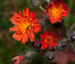 Hieracium aurantiacum (Orange Hawkweed, Devil's Paintbrush, Fox-and-cubs, Tawny Hawkweed, Grim-the-collier)