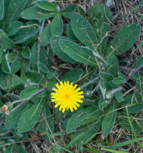 Hieracium pilosella (Mouse Ear, Mouse Ear Hawkweed)
