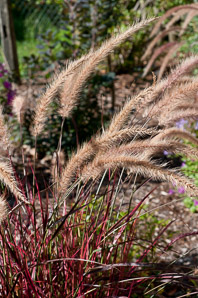 Pennisetum setaceum (Purple Fountain Grass)