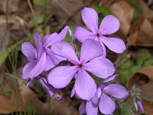 Phlox divaricata (Wild Blue Phlox, Louisiana Phlox, Blue Woodland Phlox, Sweet William, Wild Sweet William)