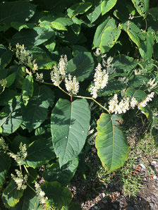 Polygonum sachalinense (Giant Knotweed, Sakhalin Knotweed, Japanese Bamboo)