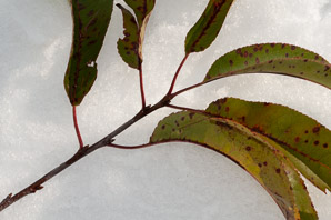 Prunus serotina (Black Cherry)