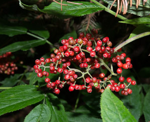 Sambucus racemosa (Red Elderberry, Redberry Elder, Red-berried Elder)