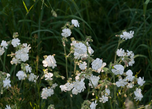 Silene latifolia (White Campion, Bladder Campion, Evening Lychnis, Wide-leaved Bladder Catchfly)