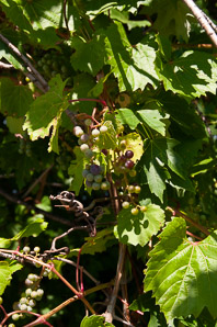 Vitis riparia (Riverbank Grape)