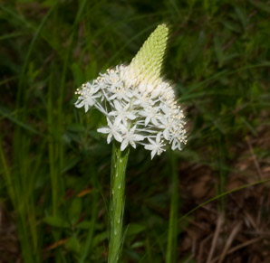 Xerophyllum asphodeloides (Turkeybeard, Eastern Turkeybeard, Beartongue, Glass-leaved Helonias, Mountain Asphodel)