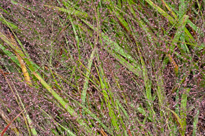 Eragrostis spectabilis (Purple Love Grass)