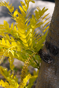 Gleditsia triacanthos (Honey Locust, Honeylocust)