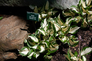 Hosta 'Fire (plantain lily)