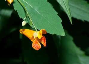 Impatiens capensis (spotted jewelweed, jewelweed)