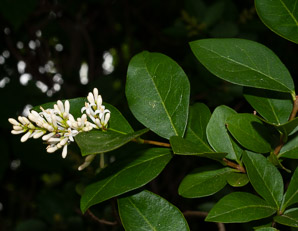 Ligustrum vulgare (Privet, Common Privet)