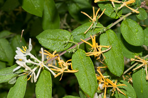 Lonicera japonica (Japanese honeysuckle, golden-and-silver honeysuckle)