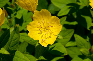 Oenothera fruticosa (Narrowleaf Evening Primrose, Common Sundrops)