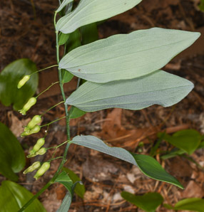 Polygonatum biflorum (Smooth Solomon's-seal, Smooth Solomon's Seal, King Solomon's-seal, Great Solomon's Seal)
