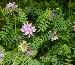 Securigera varia (Crown Vetch, Trailing Crown-vetch, Axseed, Purple Crownvetch, Axwort, Field Crownvetch)
