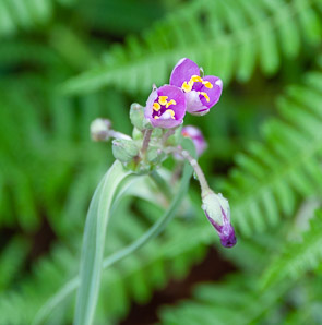 Tradescantia pinetorum (Pine Spiderwort, Pinewoods Spiderwort)