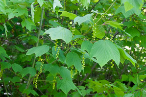 Acer pensylvanicum (Striped Maple, Moosewood, Moose Maple)