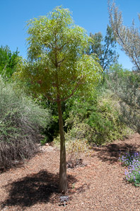 Brachychiton rupestris (Queensland bottle tree)