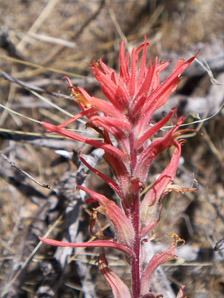 Castilleja (Indian Paintbrush, Prairie-fire)
