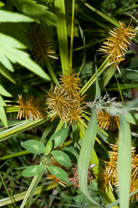 Cyperus esculentus (Nut Grass, Yellow Nut Grass, Yellow Nutsedge)