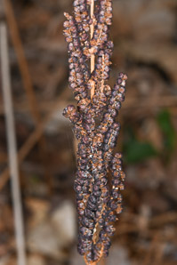 Onoclea sensibilis (Sensitive Fern, Bead Fern, Meadow Brake)