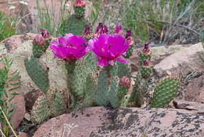 Opuntia aurea (Creeping Beavertail, Yellow Beavertail)