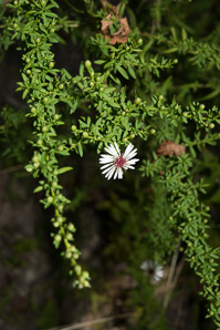 Symphyotrichum racemosum (Small White Aster, Small-flowered White Aster)