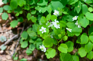 Thalictrum thalictroides (rue anemone)