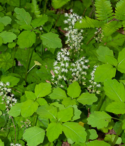 Tiarella cordifolia (Heartleaf Foamflower, Heartleaved Foamflower, Foamflower)